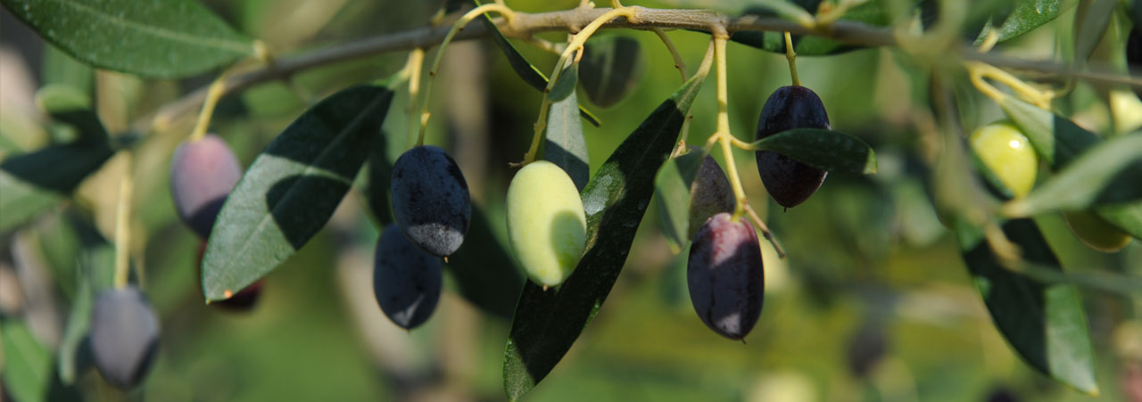 Olive del cilento